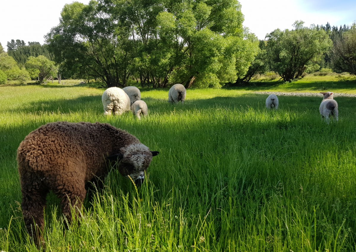 Photo of property: Pet sheep